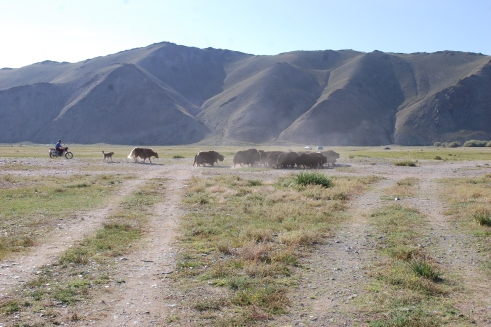 A man on his motorbike, herding yaks
